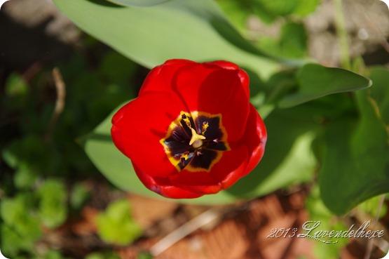 tulpen 017